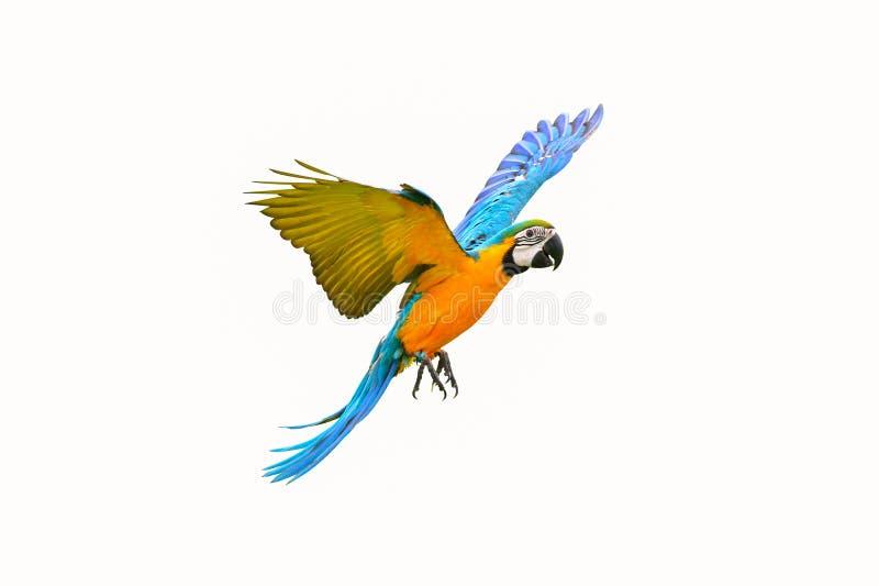 Papagaio colorido do voo isolado no branco fotos de stock royalty free