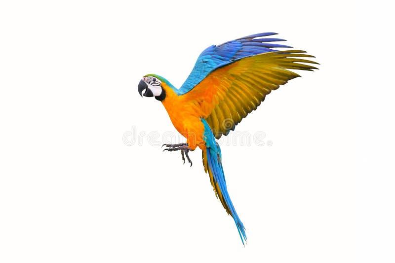 Papagaio colorido do voo isolado no branco fotografia de stock royalty free