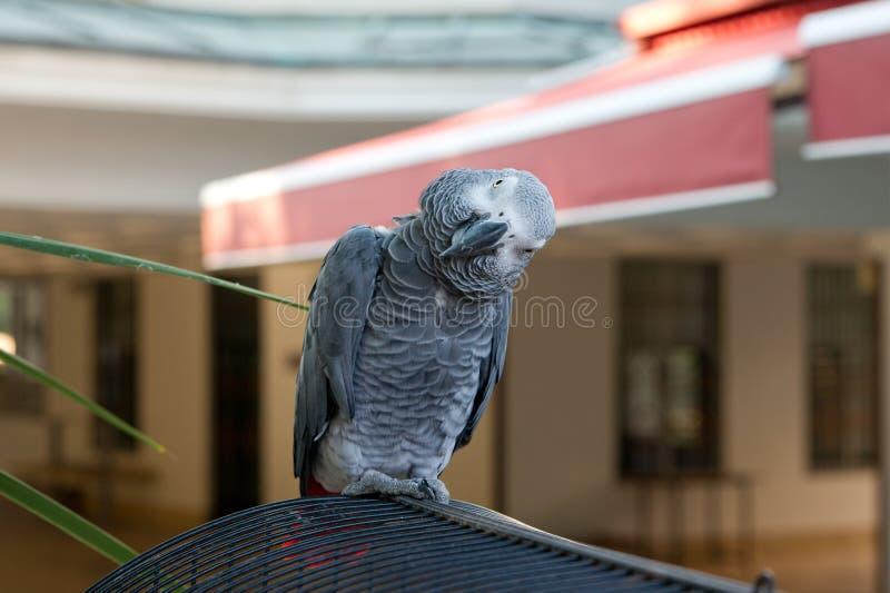 Papagaio curioso fotos de stock royalty free