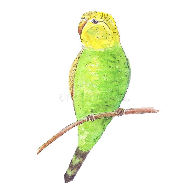 Papagaio da aquarela isolado em trópicos amarelos do verde tropical branco do pássaro do fundo ilustração royalty free