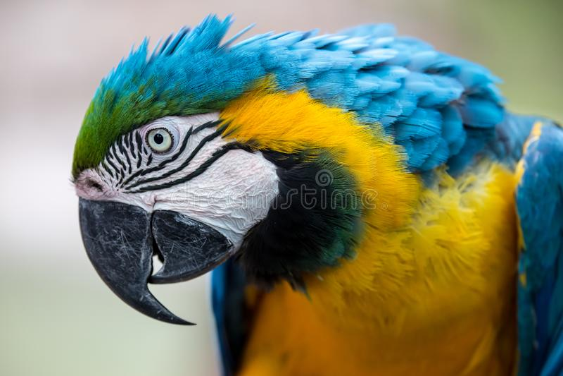 Papagaio da arara com grande bico e as penas bonitas fotos de stock
