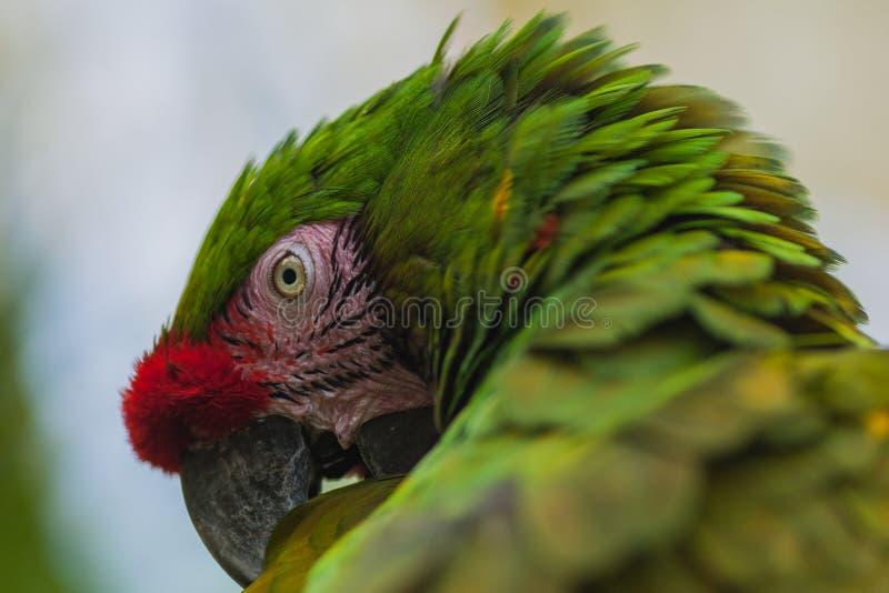 Papagaio da arara de Gree fotografia de stock