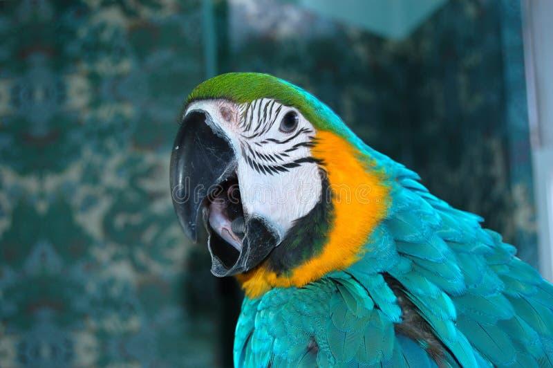 Papagaio da arara do azul e do ouro que grita fotografia de stock royalty free