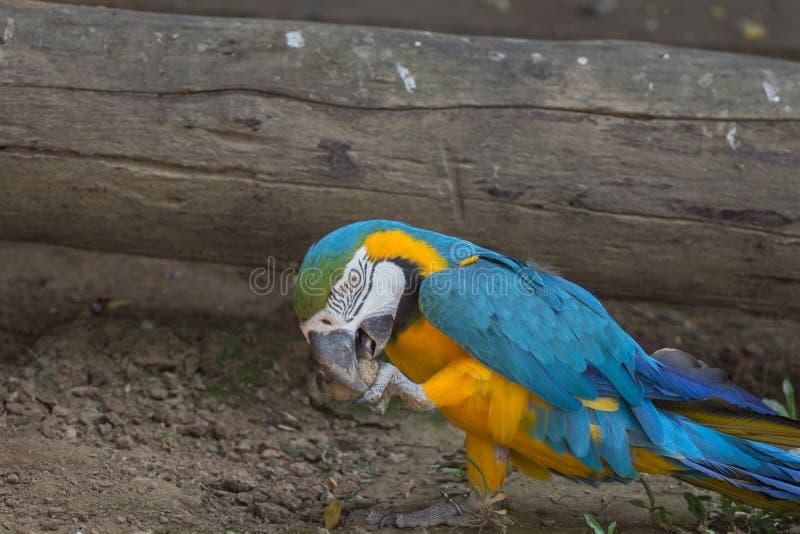 Papagaio da arara do ouro azul e amarelo foto de stock