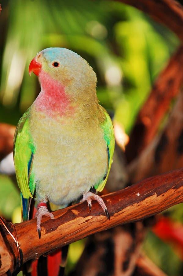 Papagaio da princesa imagem de stock