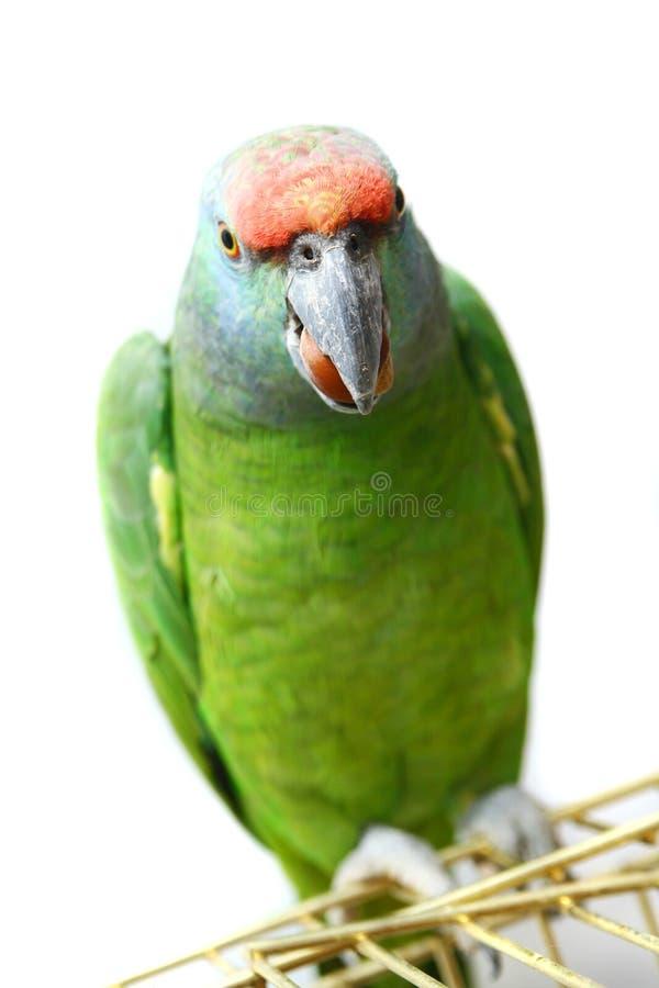 Papagaio das Amazonas do festival do voo no branco fotos de stock
