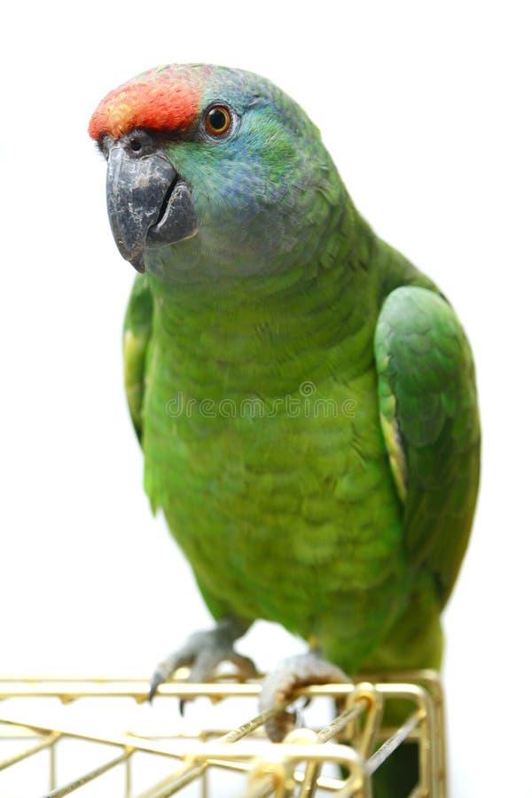 Papagaio das Amazonas do festival do voo no branco imagem de stock royalty free