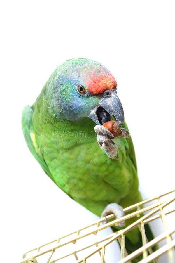 Papagaio das Amazonas do festival do voo no branco fotografia de stock royalty free