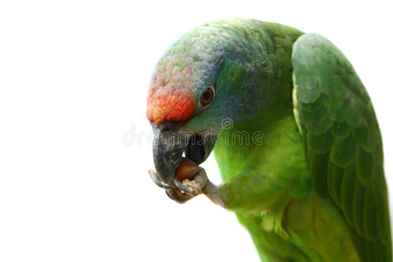 Papagaio das Amazonas do festival do voo no branco imagem de stock
