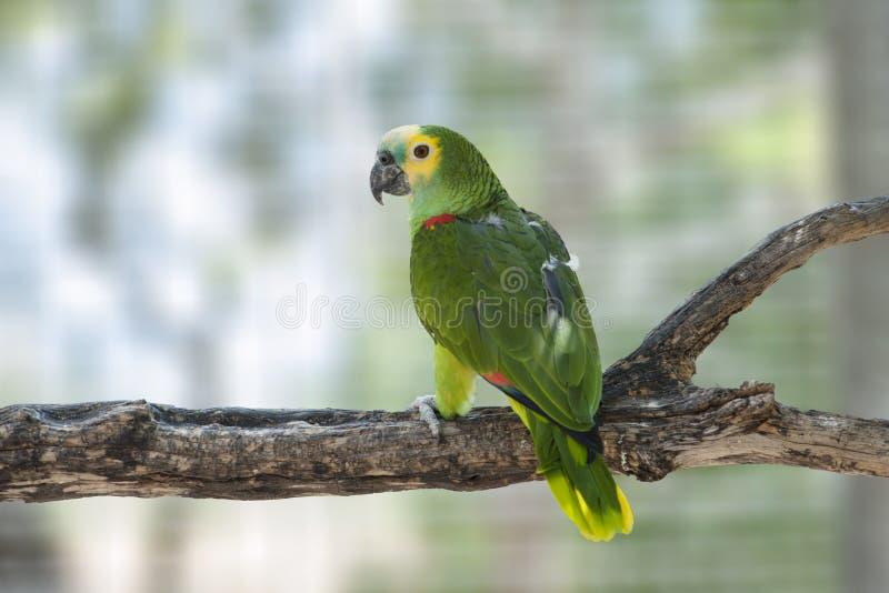 Papagaio de Amazon foto de stock