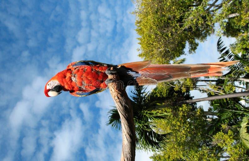Papagaio de Amazon fotografia de stock royalty free