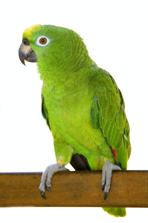 Papagaio de Amazon imagem de stock