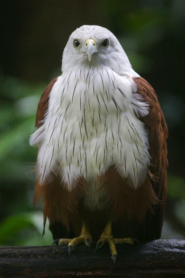 Papagaio de Brahminy imagens de stock royalty free