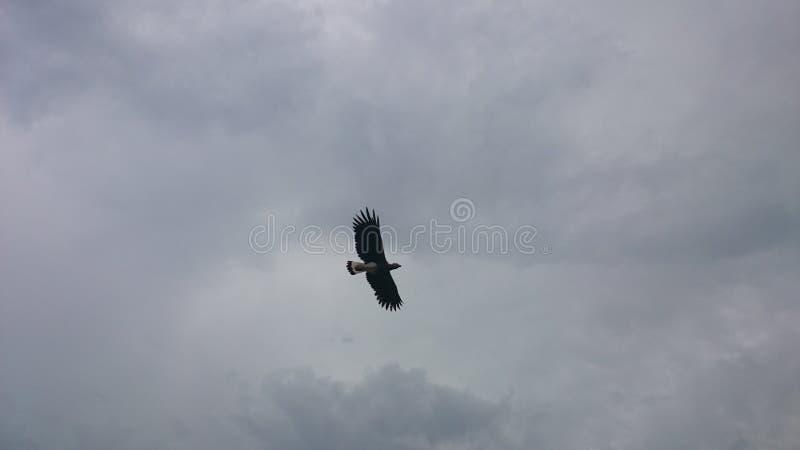 Papagaio de Brahminy fotos de stock