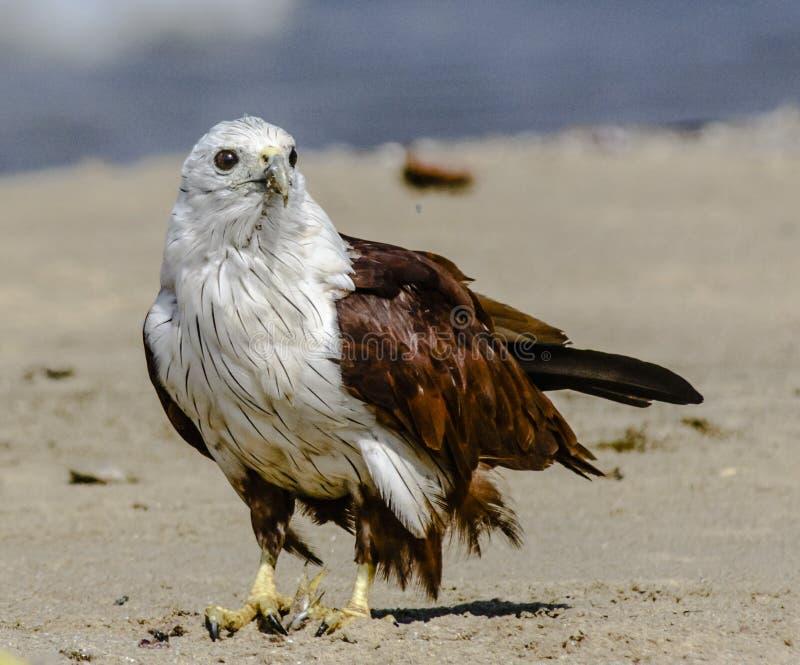 Papagaio de Brahminy foto de stock