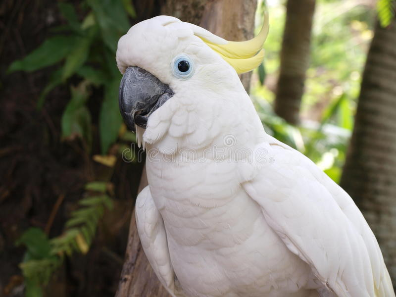 Papagaio de cockatoo branco fotografia de stock