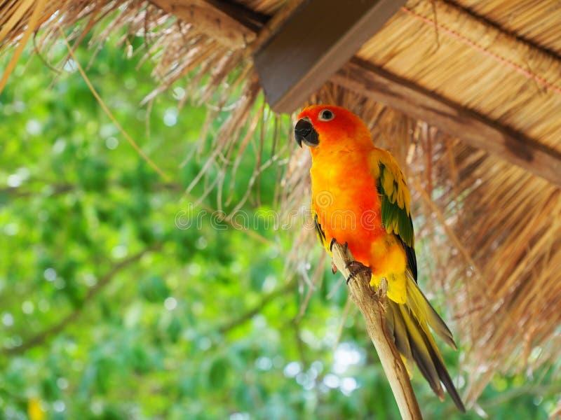 Papagaio de Cutie foto de stock royalty free
