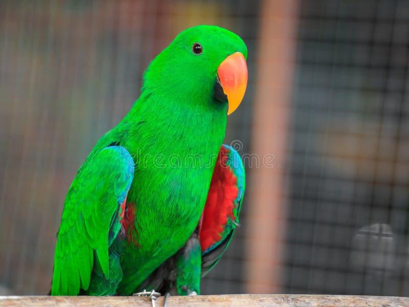 Papagaio de Eclectus, imagem de stock