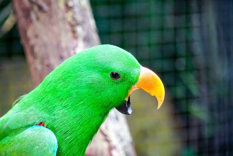 Papagaio de Eclectus, nome científico & x22; Roratus& x22 de Eclectus; pássaro no jardim zoológico imagem de stock