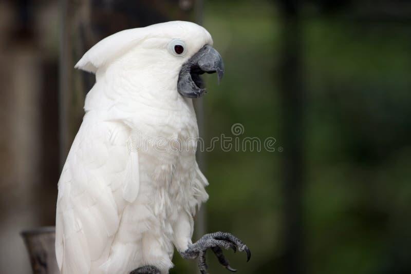 Papagaio de fala fotografia de stock royalty free