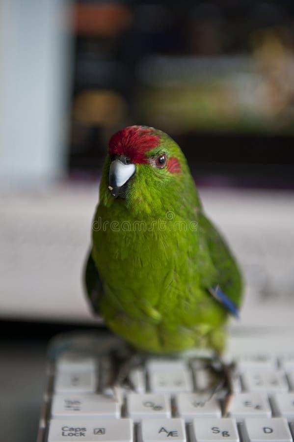 Papagaio de Kakariki fotos de stock
