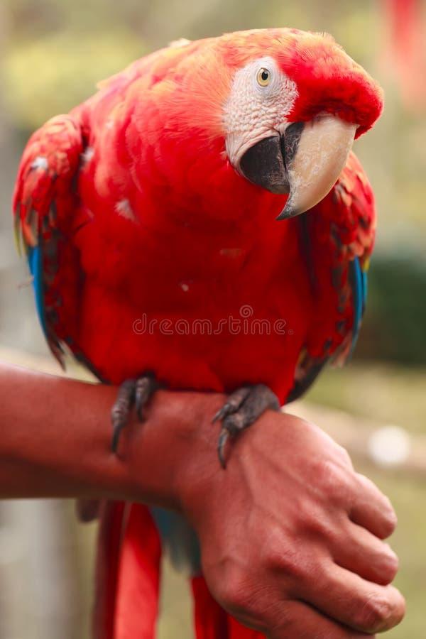 Papagaio de Maccaw fotos de stock