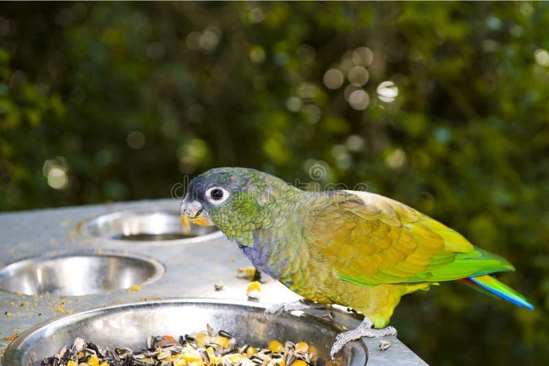 Papagaio de Maximillian fotografia de stock royalty free