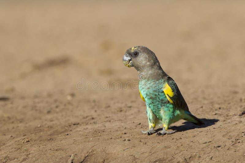 Papagaio de Meyers, (meyeri de Poicephalus) Botswana imagens de stock