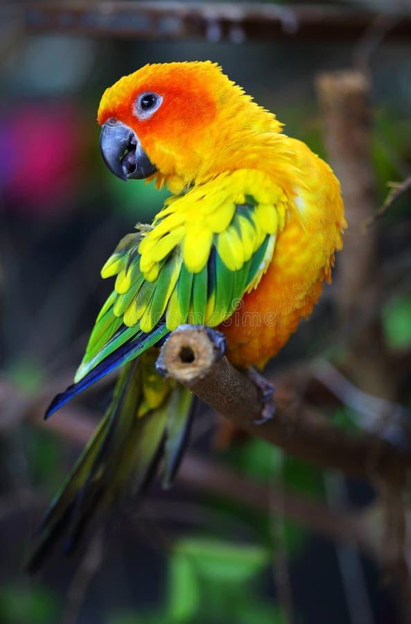 Papagaio de Sun Conure imagem de stock royalty free