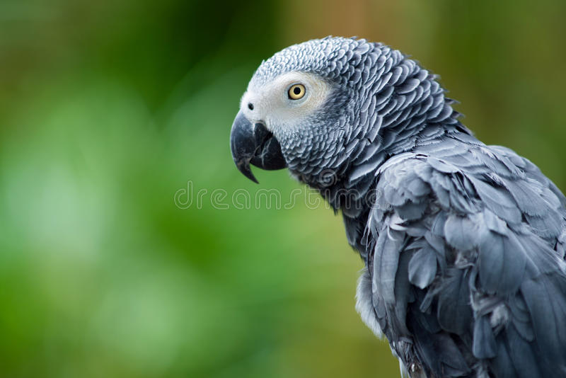 Papagaio do cinza africano foto de stock royalty free