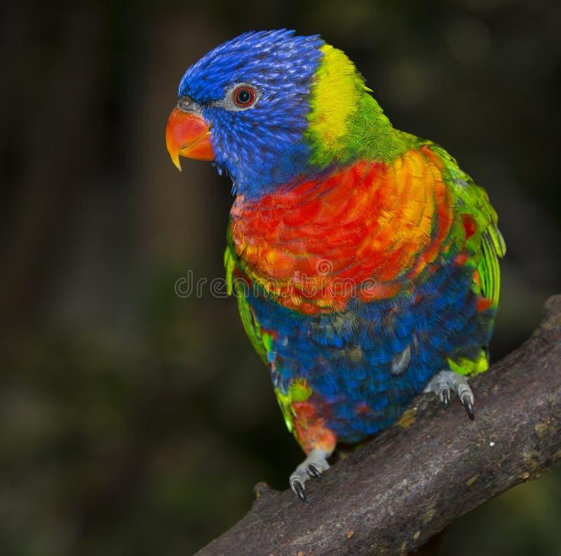 Papagaio do lorikeet do arco-íris fotografia de stock