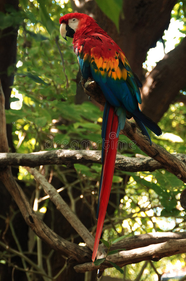 Papagaio do Macaw imagem de stock royalty free