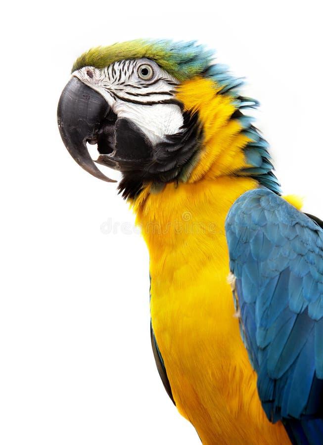 Papagaio do Macaw fotografia de stock