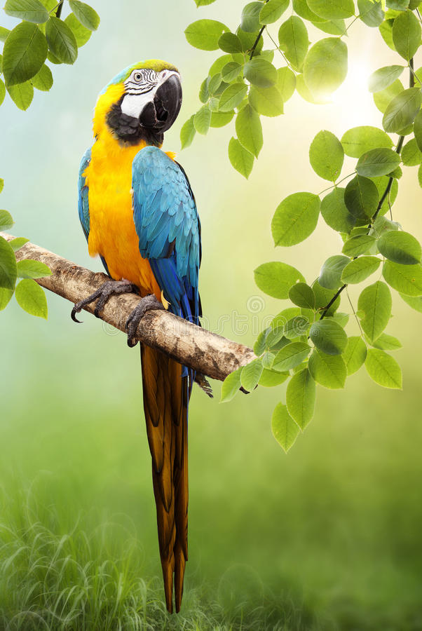 Papagaio do Macaw imagens de stock royalty free