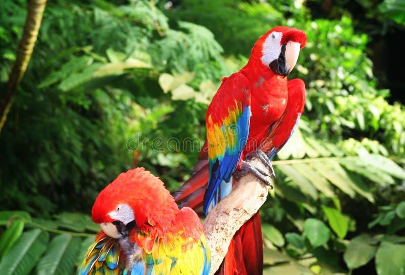 Papagaio do Macaw fotografia de stock royalty free