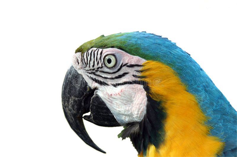 Papagaio do Macaw fotos de stock royalty free