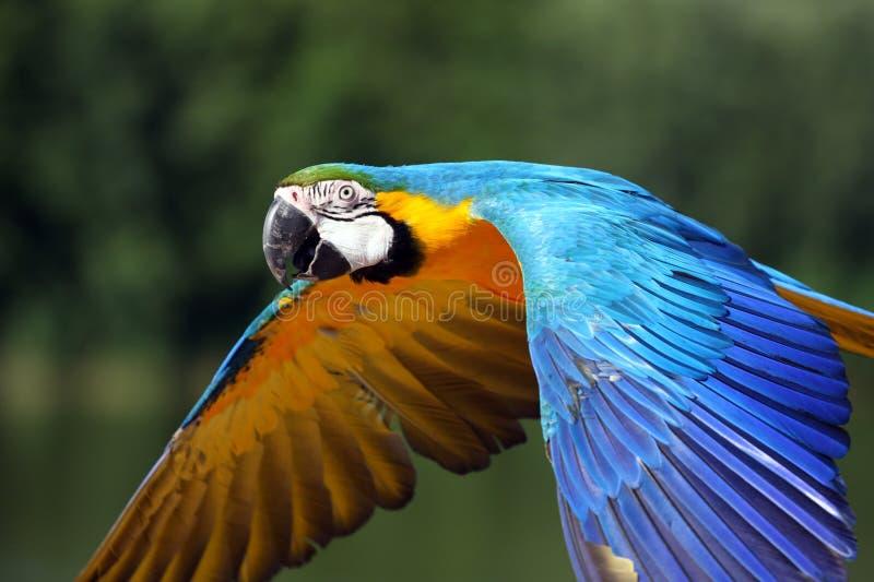 Papagaio do Macaw no vôo imagens de stock