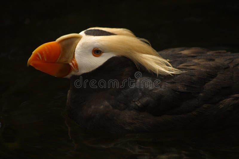 Papagaio-do-mar adornado   fotos de stock