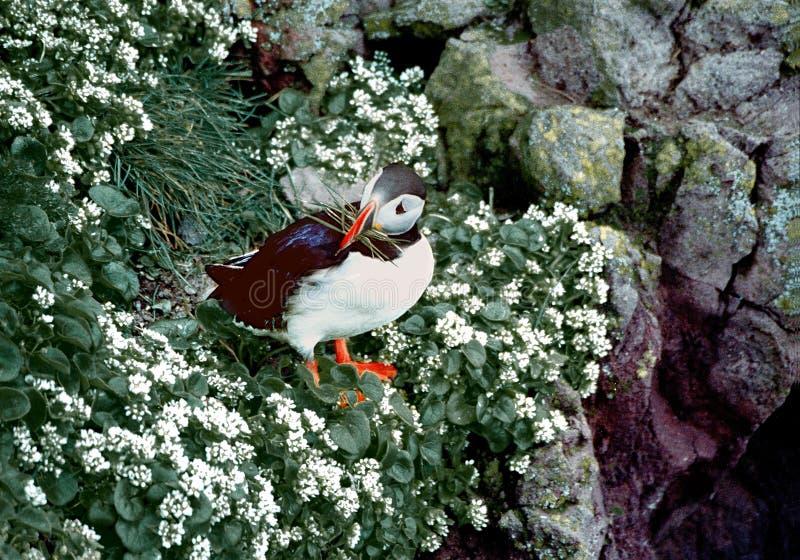 Download Papagaio-do-mar atlântico foto de stock. Imagem de flores - 113438