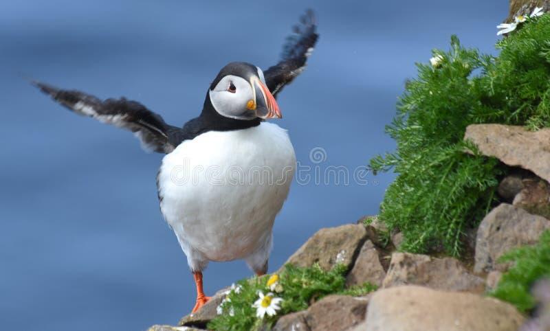 Papagaio-do-mar atlântico imagem de stock