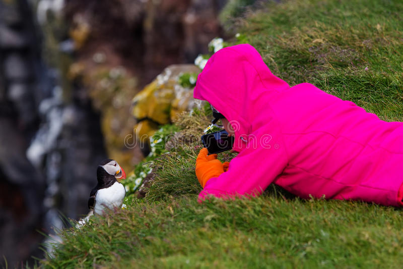 Papagaio-do-mar atlântico bonito em Islândia fotografia de stock royalty free