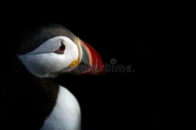Papagaio-do-mar atlântico de Runde Noruega fotografia de stock