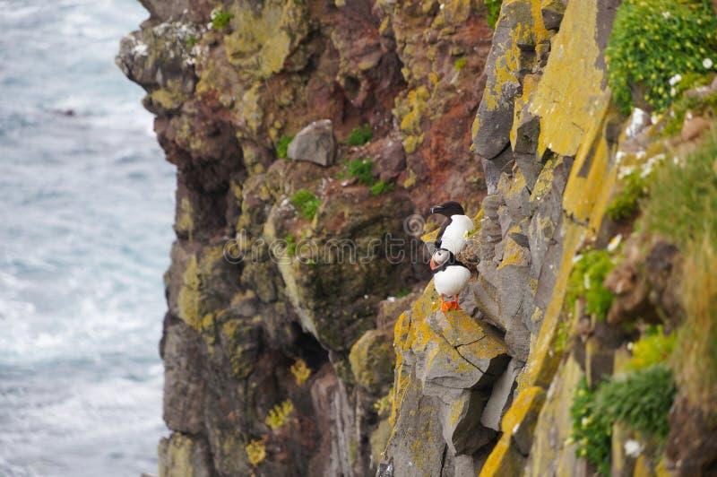 Papagaio-do-mar atlântico e mergulhão comum em penhascos de Latrabjarg, Icel fotos de stock royalty free