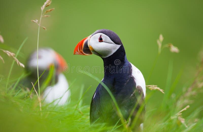 Papagaio-do-mar atlântico na grama, Islândia imagens de stock