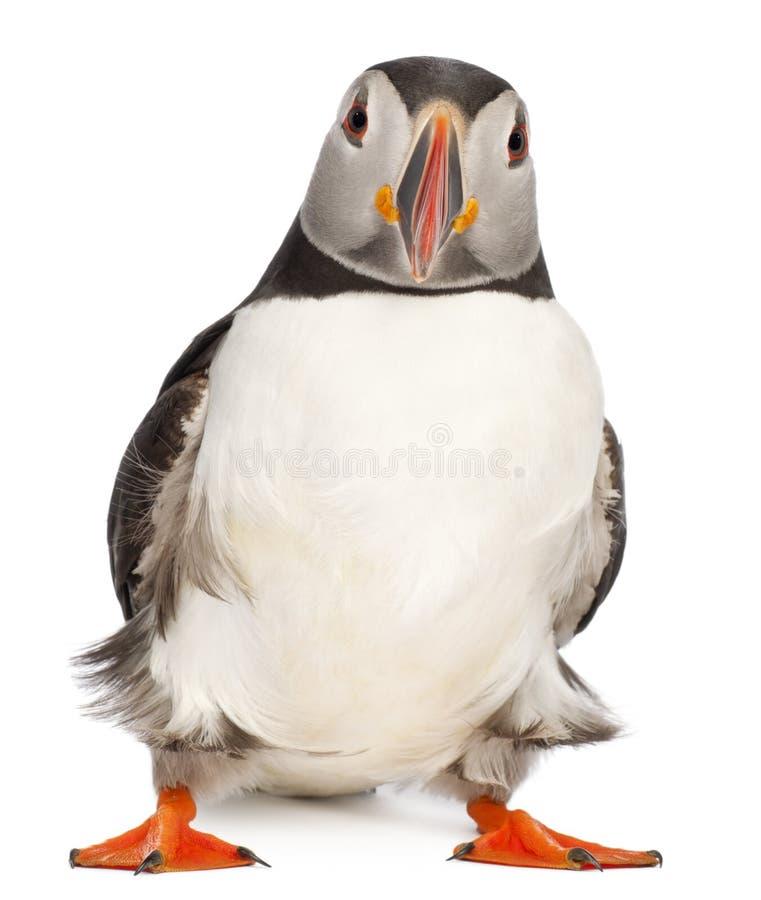 Papagaio-do-mar atlântico ou papagaio-do-mar comum foto de stock royalty free