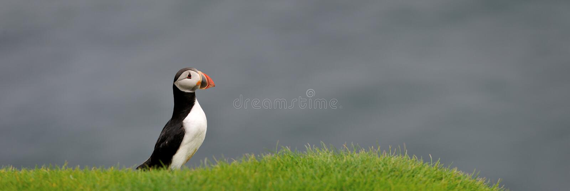 Papagaio-do-mar atlântico ou papagaio-do-mar comum fotos de stock royalty free