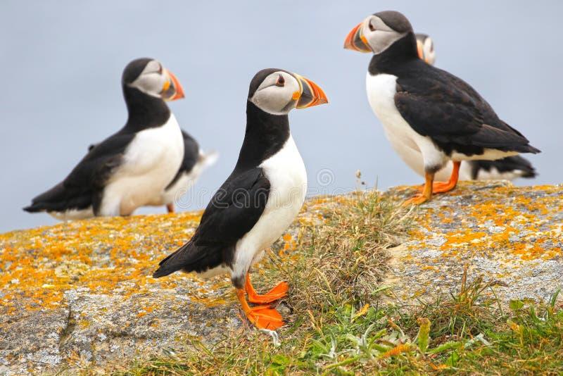 Papagaio-do-mar atlântico que forrageia em um prado da grama, Terra Nova, Canadá fotos de stock royalty free