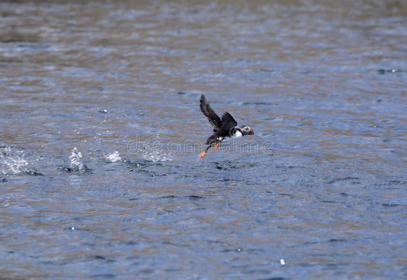 Papagaio-do-mar atlântico que salta sobre a superfície da água fotografia de stock
