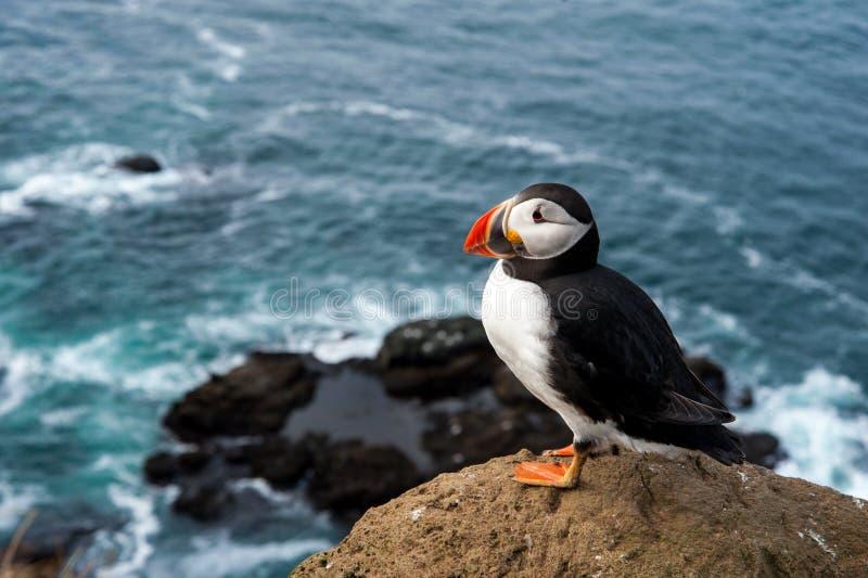 Papagaio-do-mar atlântico que senta-se em um penhasco fotografia de stock