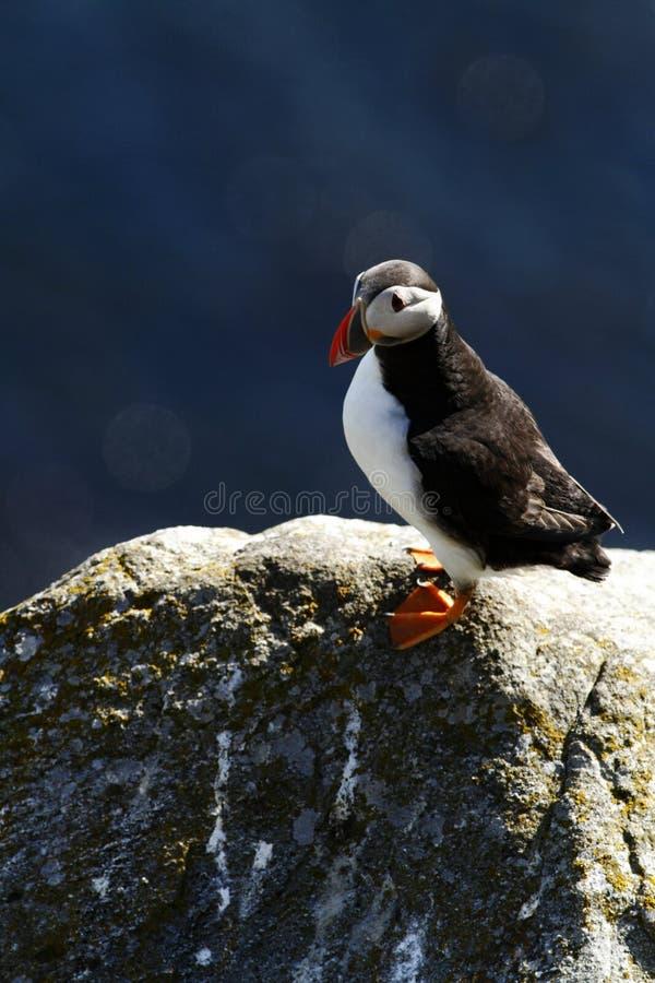 Papagaio-do-mar atlântico que senta-se no penhasco, pássaro na colônia do assentamento, pássaro bonito preto e branco ártico com  imagens de stock royalty free